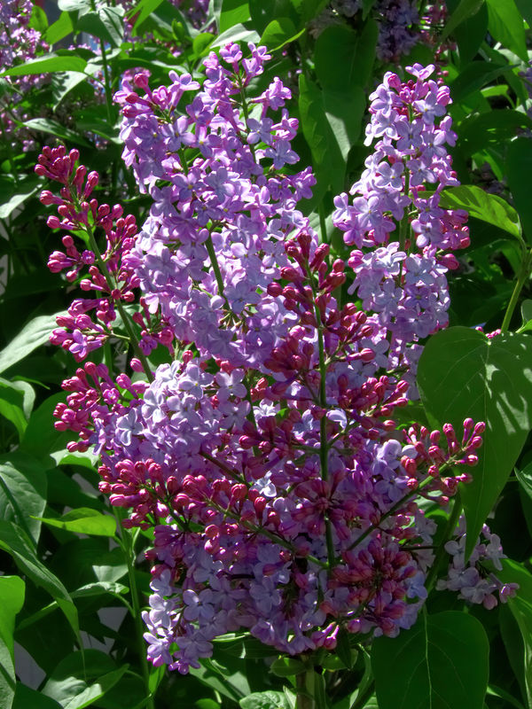 Cousin Janet's lilac....