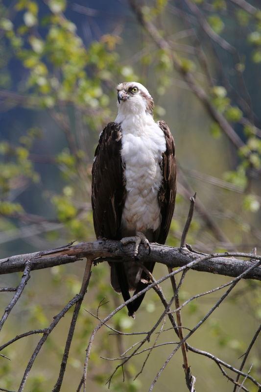 A noble bird...