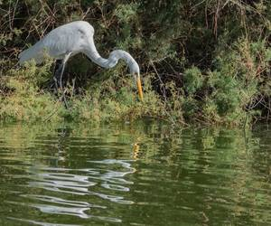 Egret fishing...