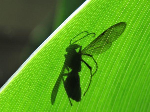 a shadow on a canna leaf...