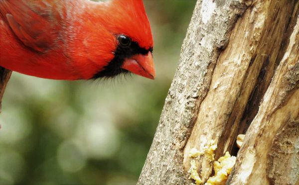 a yummy surprise for a cardinal...