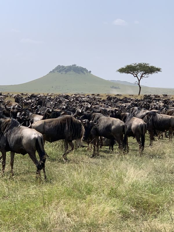 Wildebeests on the plains...