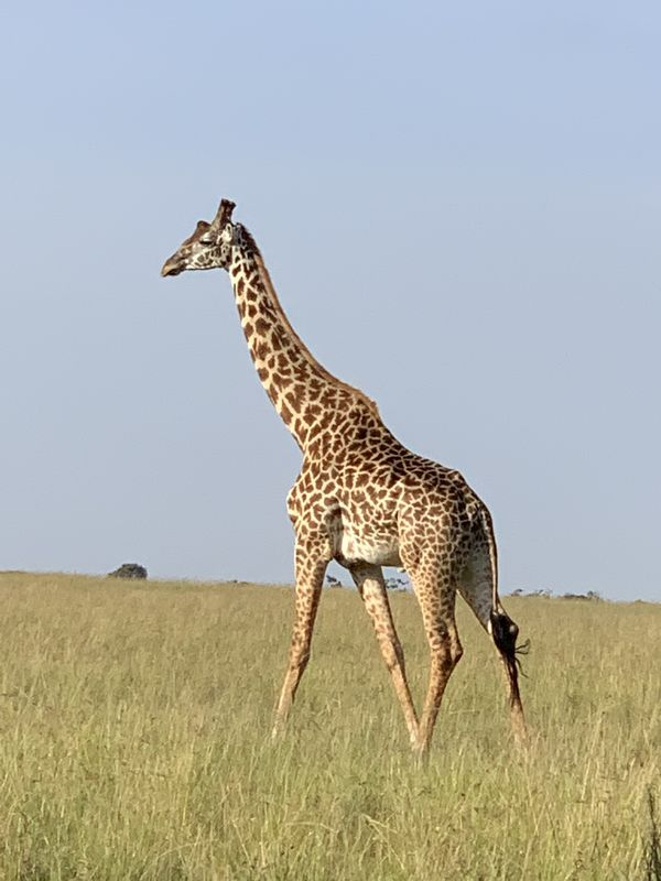 Giraffe looking for food as they elegantly move al...