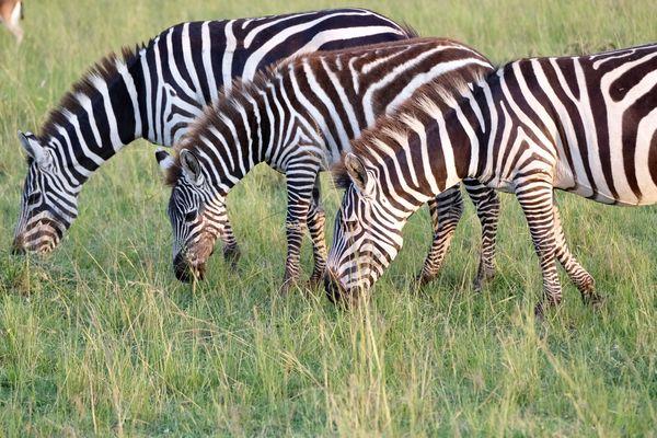 Trio of feeding zebras...