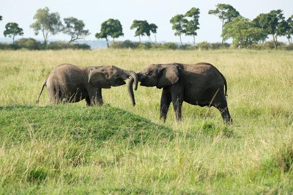Baby elephants playing...