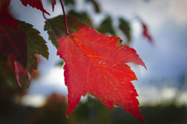 A Red Leaf...