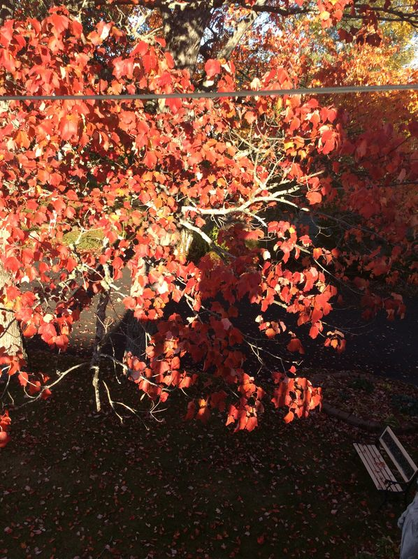 Our old maple tree...
