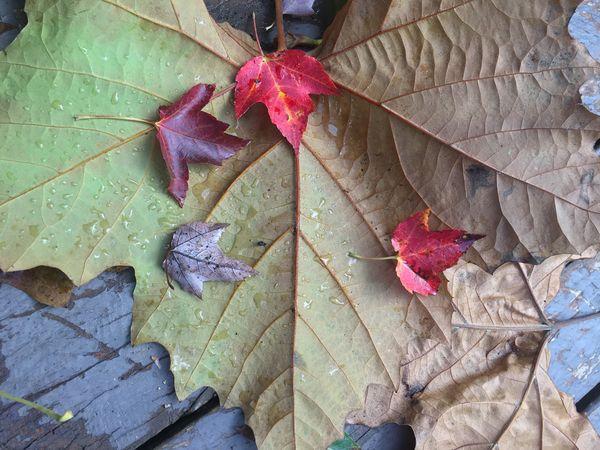 little Red Leaf...