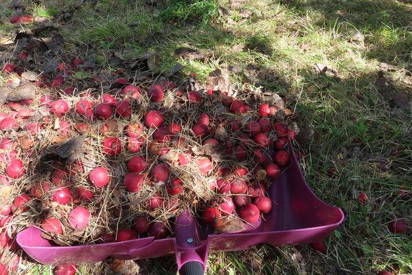 Apples from my neighbor's tree last year. No apple...