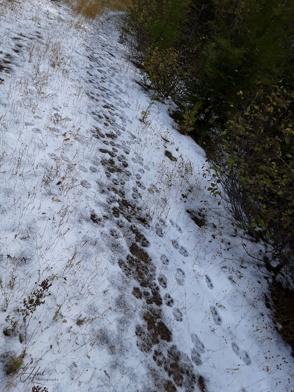 Lots and lots of wolf tracks...just made that morn...