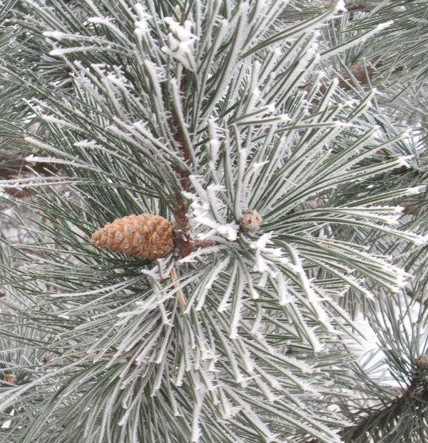 Pinecone in frosty tree...