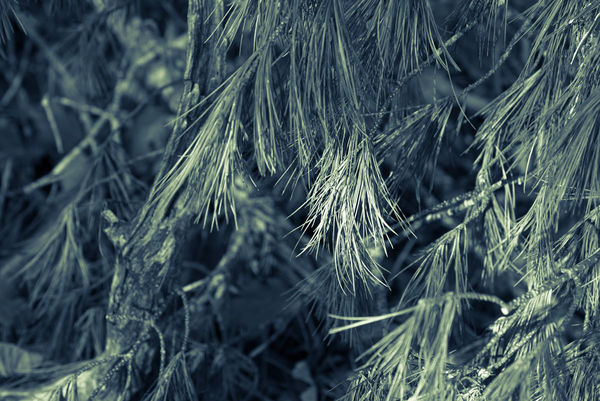 Evergreen fronds in a different hue...