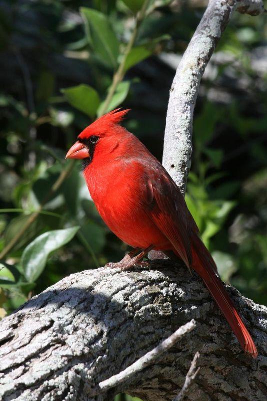 Northern Cardinal...