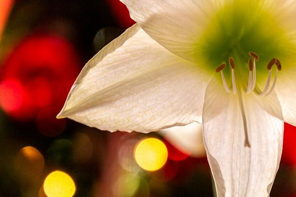 Amaryllis with tree lights in background...