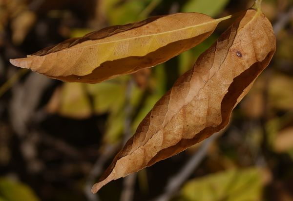 Leaves are about ready to be shed on the Mexican B...