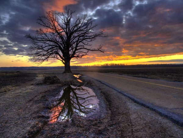 Champion Burr Oak near McBaine, MO....