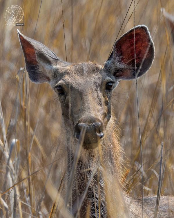 Sambhar deer...