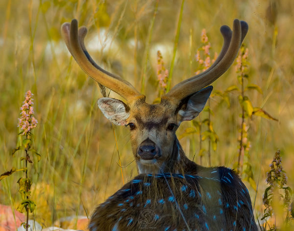 Chittal - Spotted Deer...
