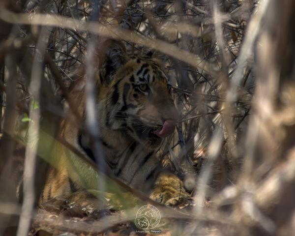 Bengal Tiger...