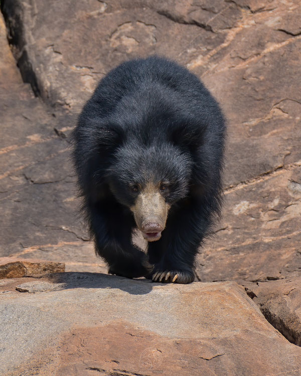 Indian Sloth Bear...