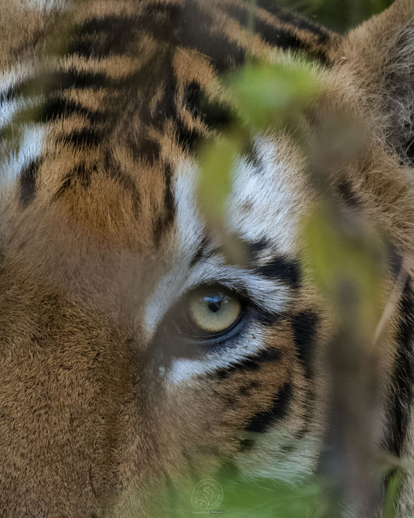 The eye of the Tiger!!...