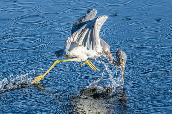 Tricolored Heron erratically fishing...