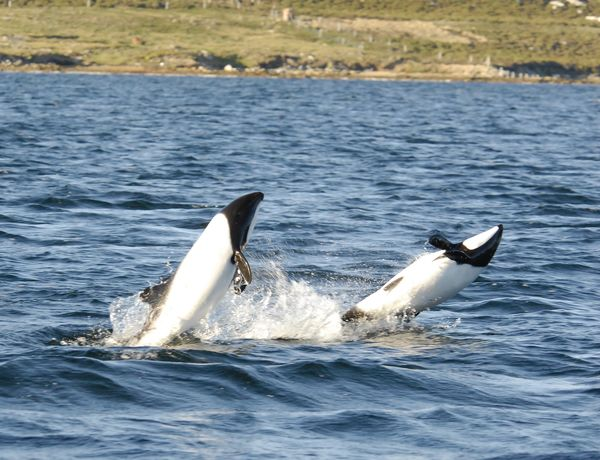 Commerson's dolphins in Chile...