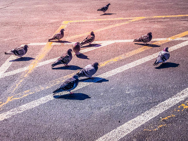 """The pigeon version of """"Don't step on a crack, brea..."""
