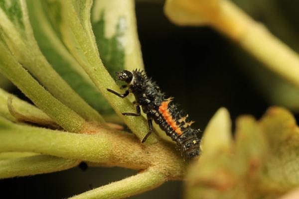 lady bug larva...