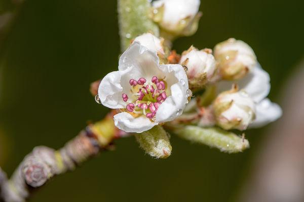 Pear Blossom, Williams bon Chrehien pears....