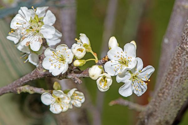 Victoria Plum Blossom...