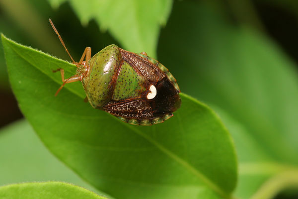shield bug...