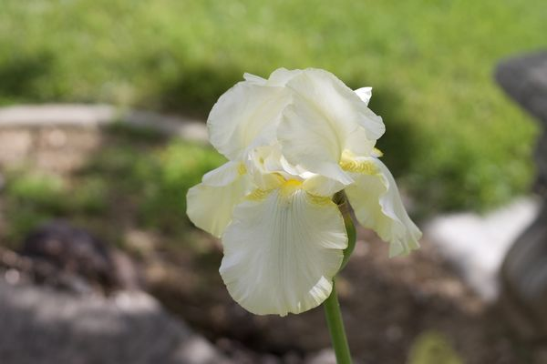 My frontyard Iris's...