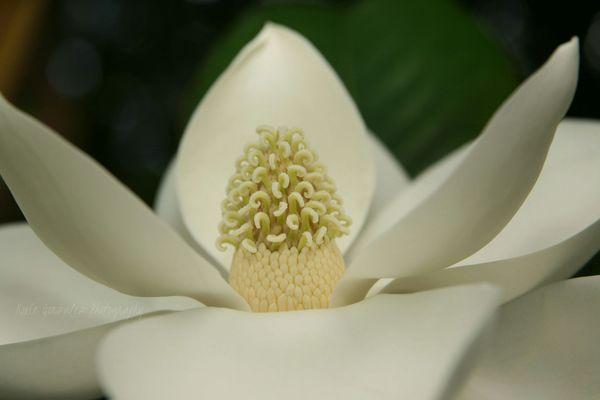 Southern Magnolia...