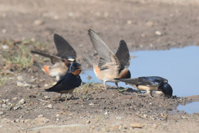 swallows digging mud with their beaks...