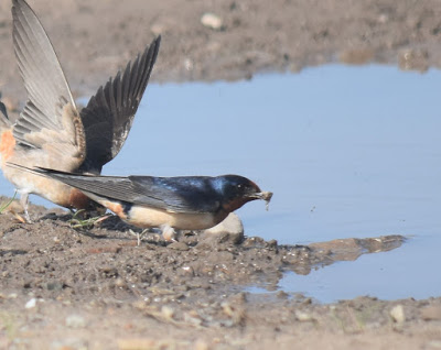 a ball of mud in the swallow's beak...