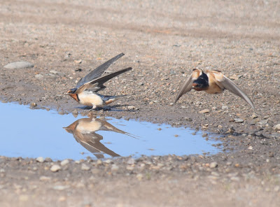 Cliff Swallows at a mud puddle...