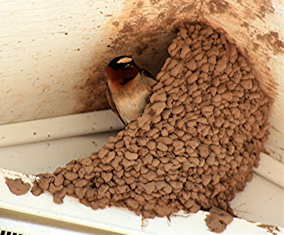 a Cliff swallow mud nest...