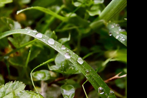 pearly dew drops...