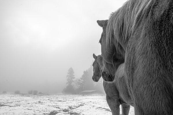 My horses on a foggy day...