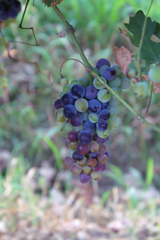 Cluster of grapes, so to be raisins...