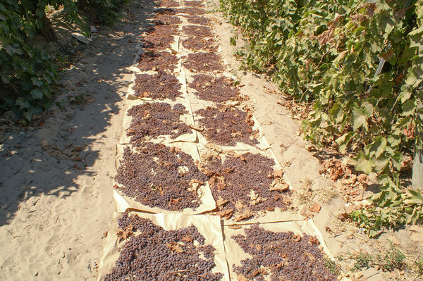 Grapes on the ground drying...