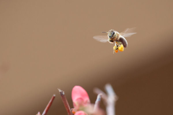 Bee headed to pollinate...