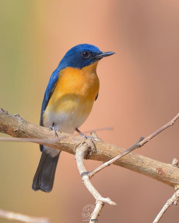 Tickell's Blue Flycatcher...