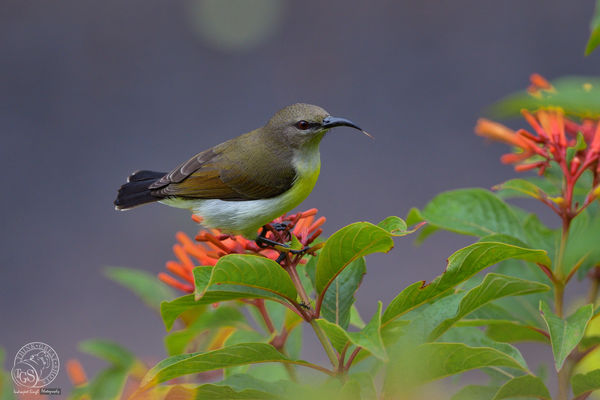 Purple Rumped Sunbird - Female...
