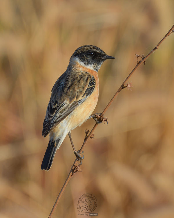 Common Stone Chat...