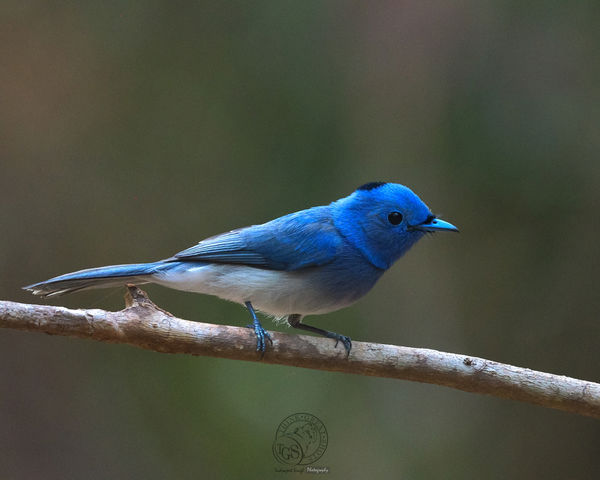 Black Naped Monarch...