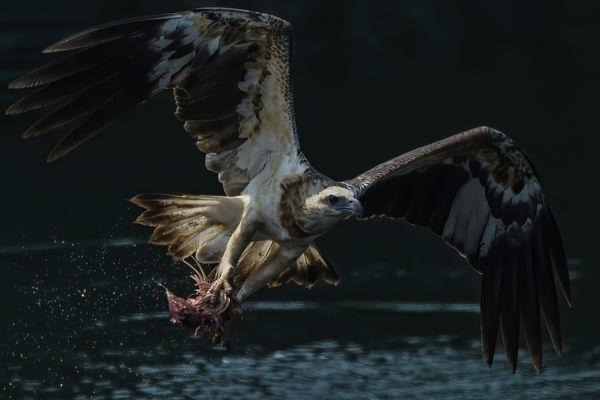 White Bellied Sea Eagle...