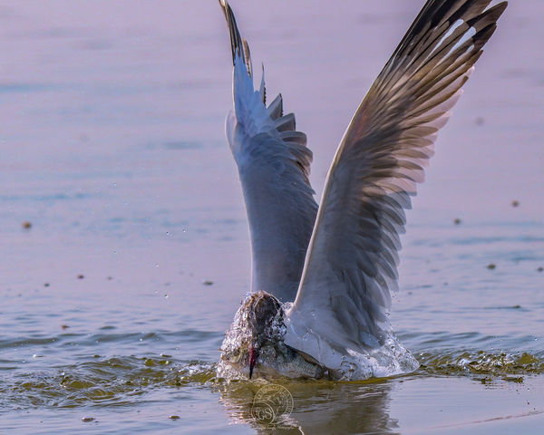 Brown Headed Gull - with catch...