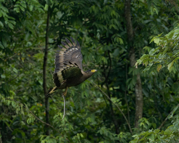 Crested Serpent Eagle - Living up to its name!...